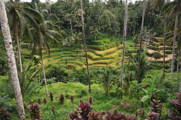 Tropical rice paddy terrace in Bali, Indonesia