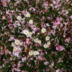 White daisies and fallen pink spring blossom on the lawn