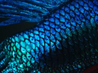 detail of siamese fighting fish