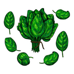 Spinach leaves hand drawn vector set. Vegetable  illustration.