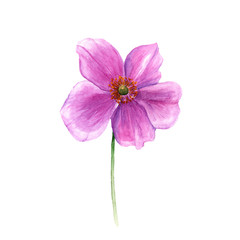 Watercolor anemone flower. Hand drawn single flower isolated on white background. Artistic floral element. Botany illustration