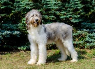 Romanian Shepherd Dog full face. Romanian Mioritic Shepherd Dog is on the grass.