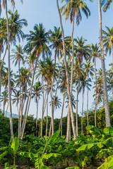 Palms and banana plants on Ometepe island, Nicaragua