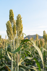 Field of Sorghum or Millet