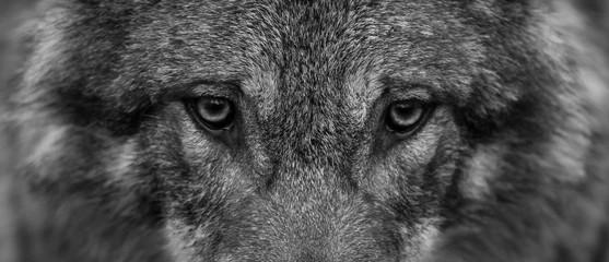 Spoed Fotobehang Wolf Grey Wolf - Loup Gris