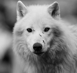 White Wolf - Loup Blanc