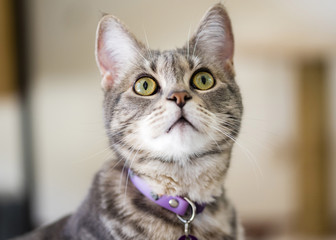 Gray striped cat closeup portrait. Grey tabby cat with green eyes looks up.