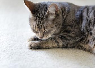 Gray striped cat sleeping. Grey tabby cat lying on carpet.