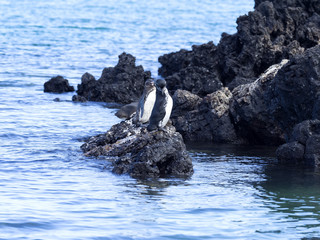 Galapagos Penguin, Spheniscus mendiculus, is the only penguin living in the northern hemisphere, Isabela Island, Galapagos, Ecuador
