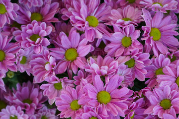 Pink Chrysanthemum Prius Splendid flower background, flowers are blooming and use for home decoration.