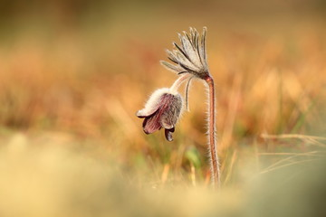 Pulsatilla pratensis. They grow in sunny and bright places. For example, on rocky and grassy slopes. On meadows, steppes or in the woods. It is a thermophilic species. Wild nature. Beautiful picture.