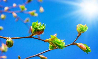 Grüne Blätter, blauer Himmel mit Sonne im Frühling