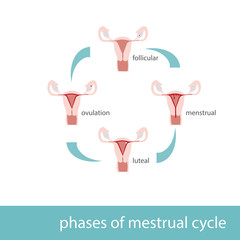 Vector illustration of phases of menstrual cycle