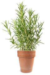 Rosemary in vase
