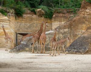 Giraffes, in the park.