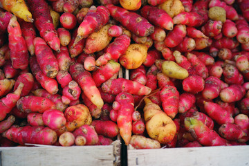 Colorful red and yellow roots of oca tuber (Oxalis tuberosa) at a French farmers market