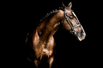 Beautiful stallion posing on a black background