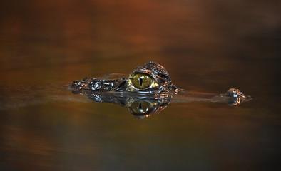 Krokodilkaiman im Wasser