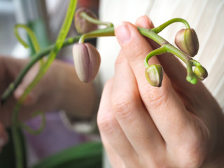 Breeding of orchids. Young flowers buds orchids.