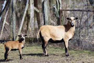 Mutterschaf mit Lamm auf einem Bauernhof