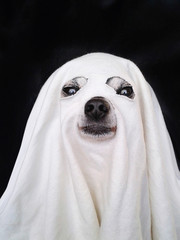 cute chihuahua dressed up like a ghost for halloween with a white sheet over his head isolated on a black background