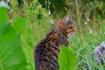 Tabby cat sitting in the high green grass, side view. Cat outdoors