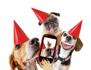 cute beaglecute beagle looking at the camera while taking a selfie with another beagle and a pug with birthday hats on isolated white background studio shot