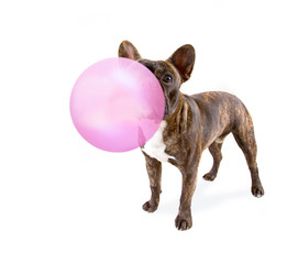cute french bulldog isolated on a white background blowing a huge pink bubble with gum
