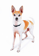 cute fox or rat terrier chihuahua mix in a studio shot on an isolated white background