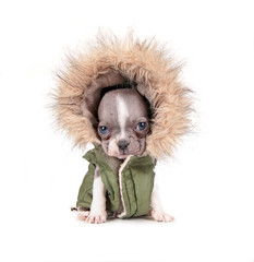 photo of a cute french bulldog puppy in a hoodie jacket studio shot on an isolated white background