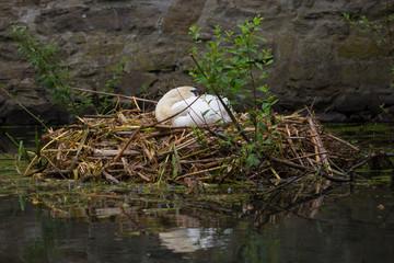 Höckerschwan auf seinem Nest