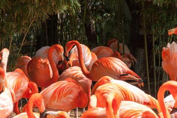 Pink Caribean flamingos