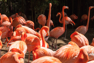 Pink Caribean flamingos