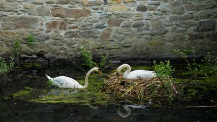 Höckerschwanpaar an seinem Nest
