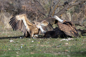 The griffon vulture (Gyps fulvus) on the feeder. A typical way to open a carcass with a large scavenger.
