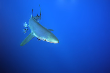 The blue shark (Prionace glauca) in the ocean blue