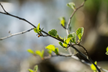 Twigs of hazel with fresh young green leaves in spring. Leaves are highlighted by the sun. Blurred background, selective focus.