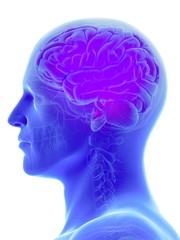 Illustration of male brain against white background
