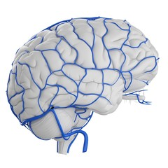 Illustration of brain with arteries against white background