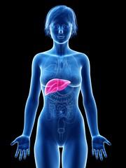Female liver, illustration