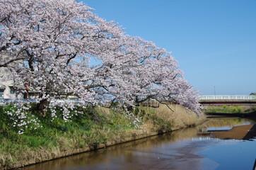川沿いの満開の桜
