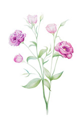 Watercolor painting of eustoma flowers