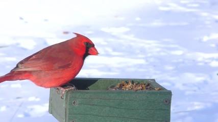 Fotoväggar - Male Northern Cardinal (cardinalis cardinalis) and other birds on a feeder in snow