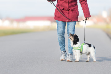 Dog handler walks with her little dog on a road in front of a blue sky - cute Jack Russell Terrier doggy