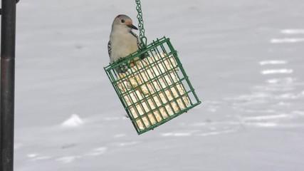 Fotoväggar - Female Red-bellied Woodpecker (Melanerpes carolinus) on a suet feeder in snow