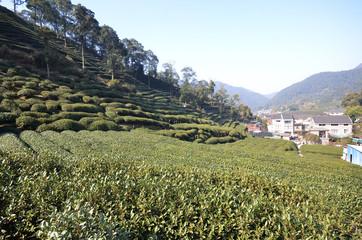 Beautiful fresh green chinese Longjing tea plantation