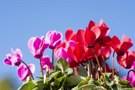 青空下の赤と赤紫のシクラメンの花