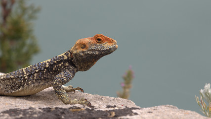 Lizard, Corfu City, Greece