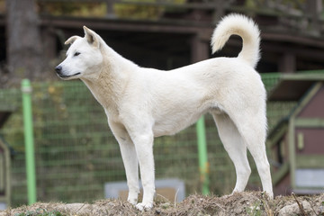 Portrait of a Korean Jindo dog. The Jindo dog has been officially designated Korea's Natural Memorial No. 53. It is brave, intelligent, and fiercely loyal to its master.