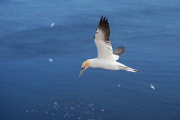 utiful Picture of flying Northern gannet over the ocean during the sunny summer day. Picture taken close the Helgoland island in the Nord sea where is biggest gannet colony in Europe.